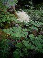 Aruncus dioicus004.jpg