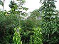 Arvores amazônicas 01.jpg