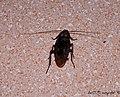 Así son las cucarachas en Cuba, así lo son en América, así mismo nada que ver con las europeas - panoramio.jpg