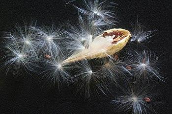 English: Milkweed (Asclepias spec.) Pod; Hyann...