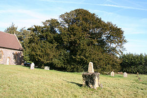 Taunton Deane - Image: Ashbrittle Yew