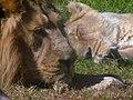 Asiatic Lions 01.jpg