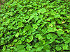Asiatic Pennywort.jpg