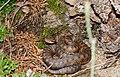 Asp Viper (Vipera aspis) female (found by Jean NICOLAS) (35564497442).jpg