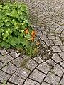 Asteraceae.2217.JPG