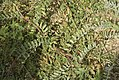 Astragalus boeticus-3256.jpg