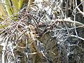 Astrophytum capricorne (5668591673).jpg