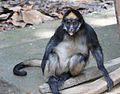 Ateles belzebuth (White-bellied spider monkey) 2.jpg