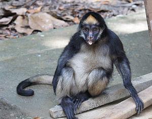 White-bellied spider monkey - Spider monkey in Ecuador.