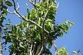 Ateramnus lucidus 2zz.jpg
