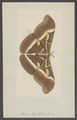 Attacus - Print - Iconographia Zoologica - Special Collections University of Amsterdam - UBAINV0274 003 05 0044.tif