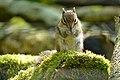 Auderghem - Region Bruxelloise - Rouge-cloître - Asiatisches Streifenhörnchen - P1010277.jpg