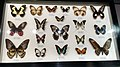 Australian Butterfly Sanctuary - specimens 14.jpg