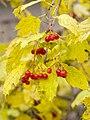 Autumn viburnum.jpg