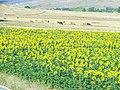 Ayçiçeği tarlası - panoramio.jpg