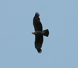 Ayres's Hawk-eagle flight mabira jan06.jpg