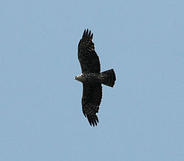 Ayres's Hawk-eagle flight mabira jan06