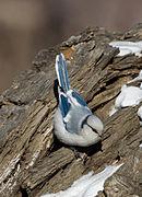Azure Tit - Parus cyanus.jpg