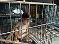 Baby macaque in cage, Jatinegara Market.jpg