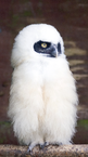 Baby spectacled owl.png