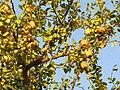 Balanites aegyptiaca fruits, Gir AJTJ IMG 4788.jpg