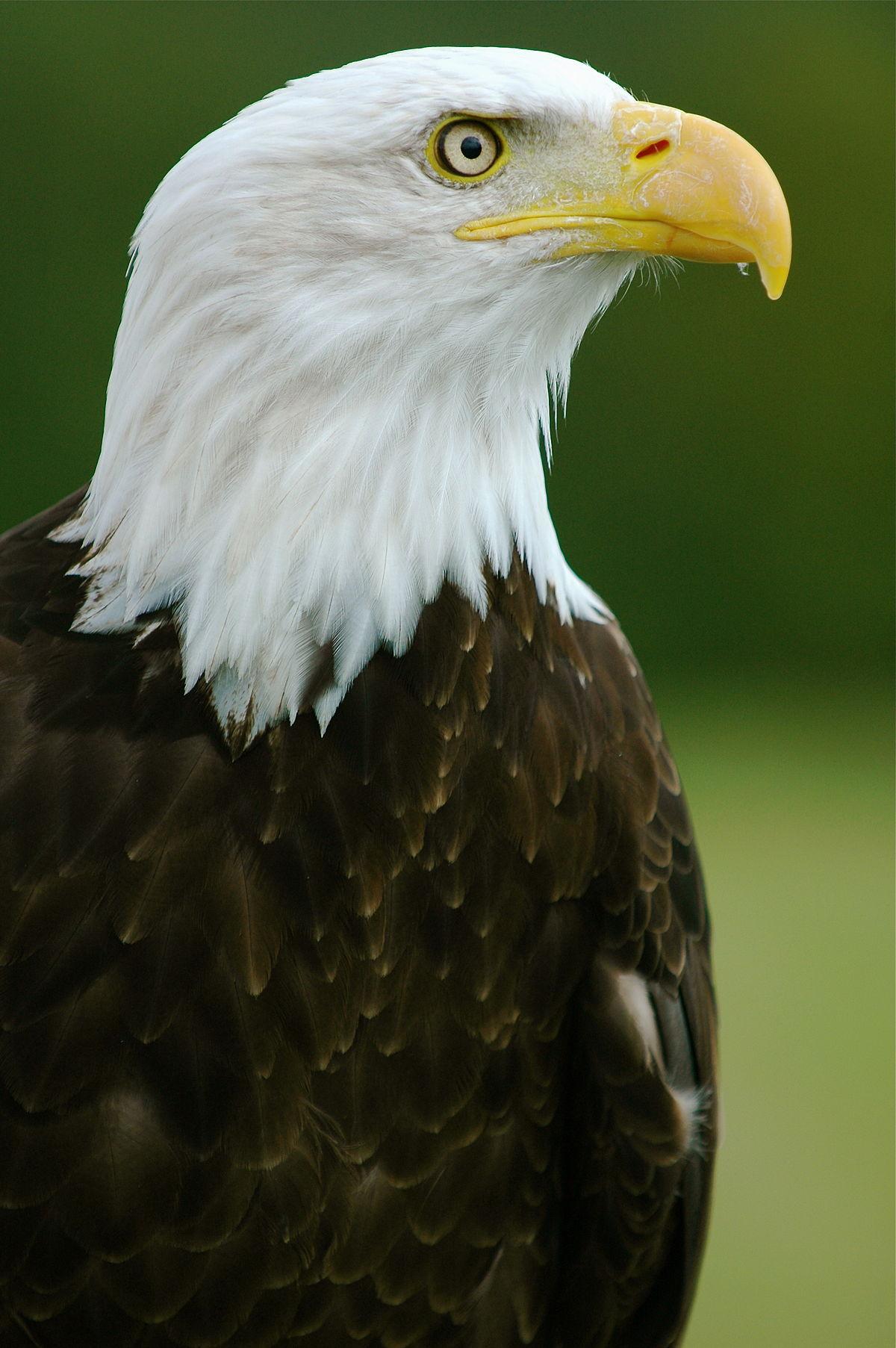Đại bàng đầu trắng – Wikipedia tiếng Việt