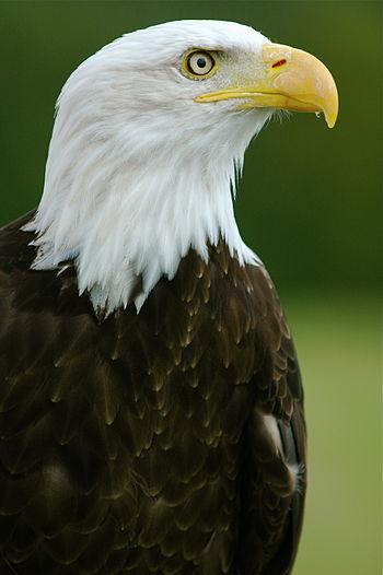 """Bald Eagle - """"Helga"""" - Haliaeetus leucocephalus2.jpg"""