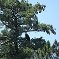 Bald Eagle in a tree (5924289043).jpg