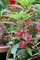 Balsam flowers 14.jpg