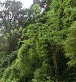 Bambus Costa Rica 2.jpg