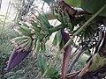 Banana tree 09 160225.jpg