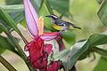 Bananaquit (Coereba flaveola mexicana) (4505521364).jpg