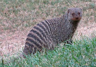 330px-Banded_Mongoose.jpg