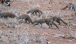 Banded Mongooses (Mungos mungo) pack patrolling outside the fence ... (32866448670).jpg