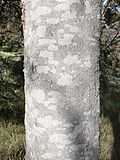Closeup of a tree trunk. The bark has mottled patches of very light grey on a background of slightly darker grey.