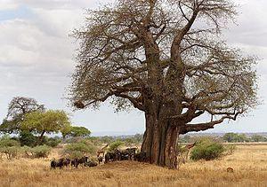 Tarangire Ecosystem - Baobab tree, wildebeests, giraffes, and impala in Tarangire National Park