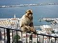 Barbary Macaque, Gibraltar (4902155568).jpg