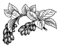 Barberry (PSF).png