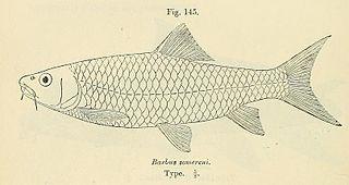 <i>Labeobarbus somereni</i> species of fish