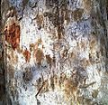 Bark of Lannea coramandelica.jpg