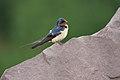 Barn Swallow (3657167703).jpg