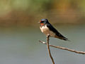 Barn Swallow (Hirundo rustica) in Hyderabad W IMG 4453.jpg