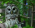 Barred owl wildlife 42 - West Virginia - ForestWander.jpg