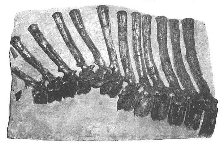 Barsboldia vertebrae