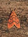 Barsine perpusilla = Asura perpusilla (Eribidae- Arctiinae- Lithosiini) (22894561311).jpg