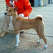 The Basenji's tail is tightly curled.
