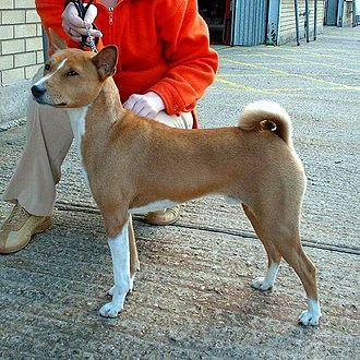 Canine terminology - The Basenji's tail is tightly curled.