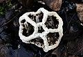 Basket Fungi NewZealand. (40797851560).jpg