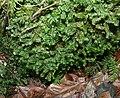 Bazzania trilobata 130108a.jpg
