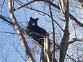 Bear in a tree 049.jpg